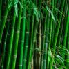 Bambú tarro