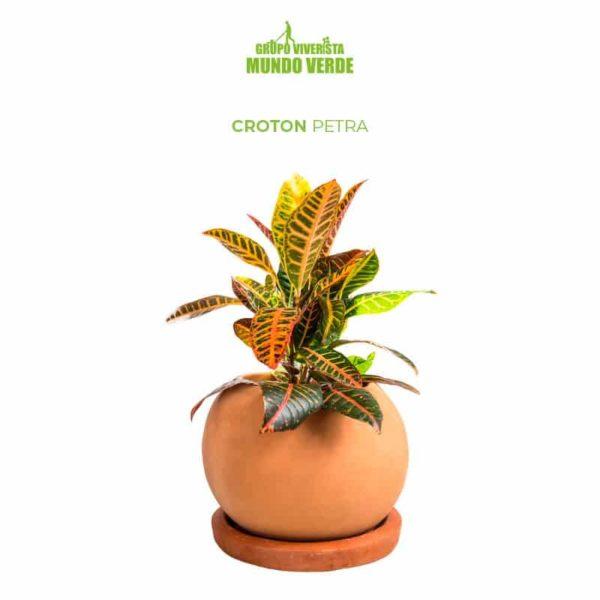 Croton Petra Amarillo