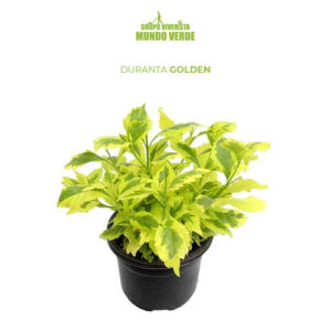 Duranta golden