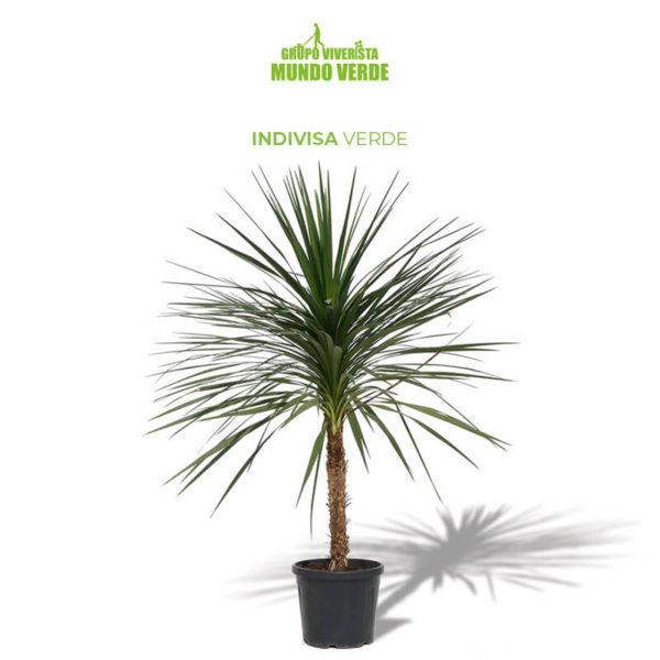 Indivisa verde planta
