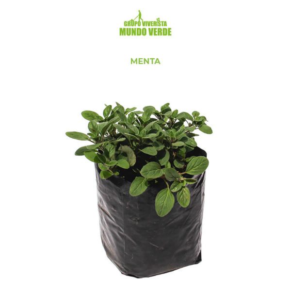 Menta planta