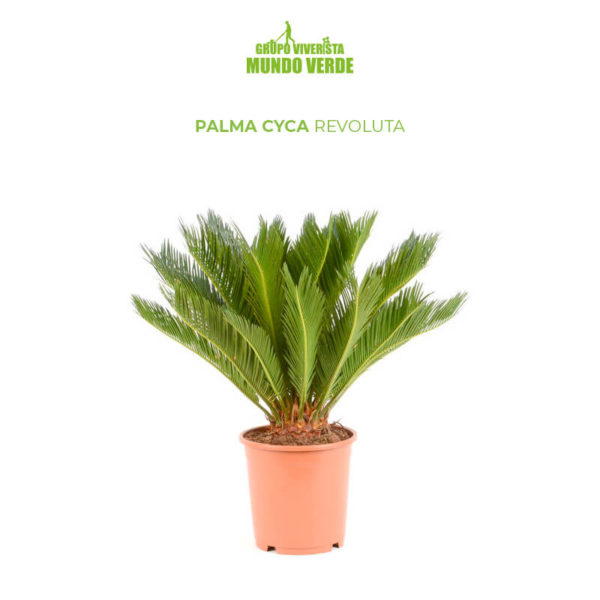 Palma Cyca Revoluta