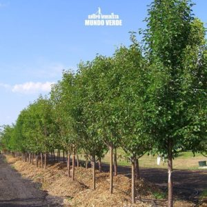 Peral árbol