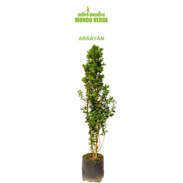 BUXUS ARRAYÁN SIMPLE