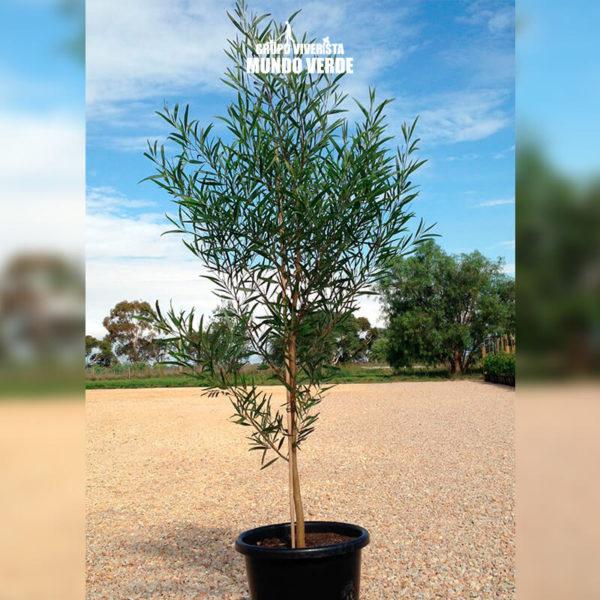 Acacia negra 2