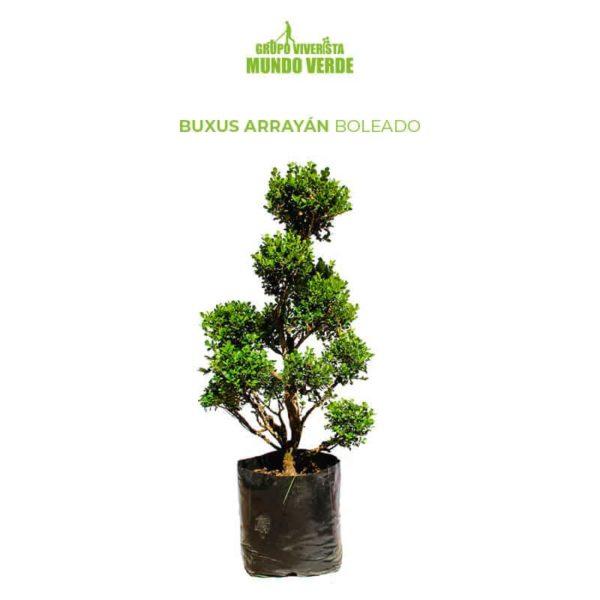 BUXUS ARRAYÁN BOLEADO