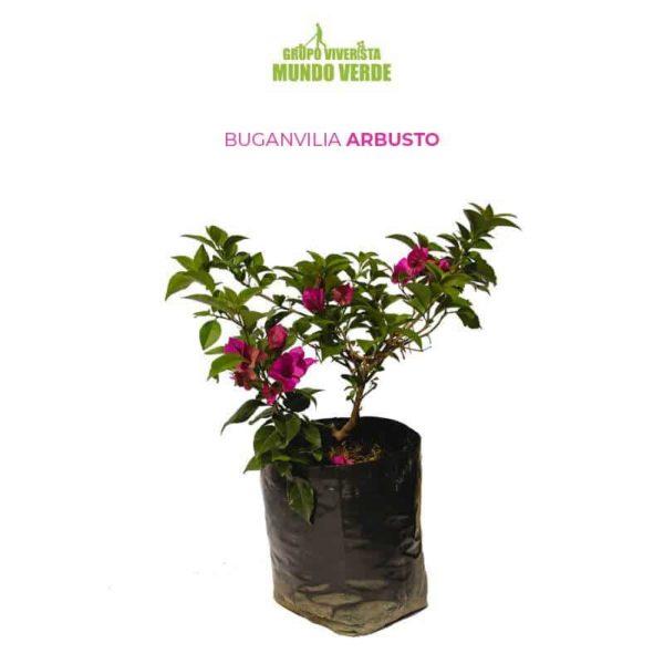 Buganvilia arbusto 1