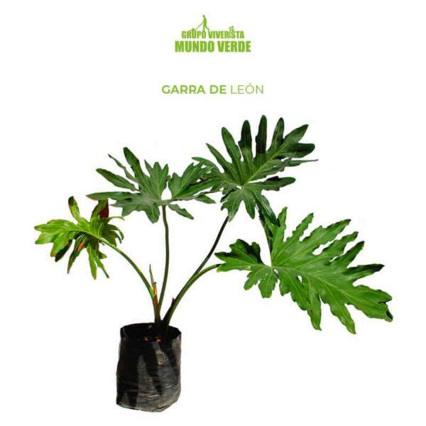 GARRA DE LEÓN