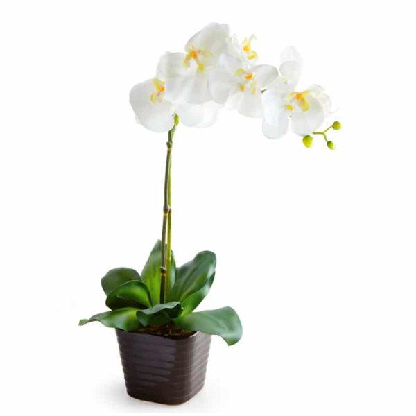Orquidea de 2 varas