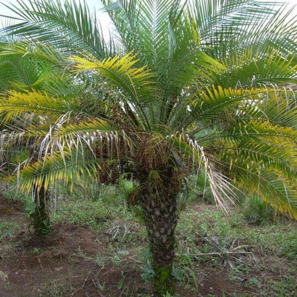 Palma Robelina e1586867884712