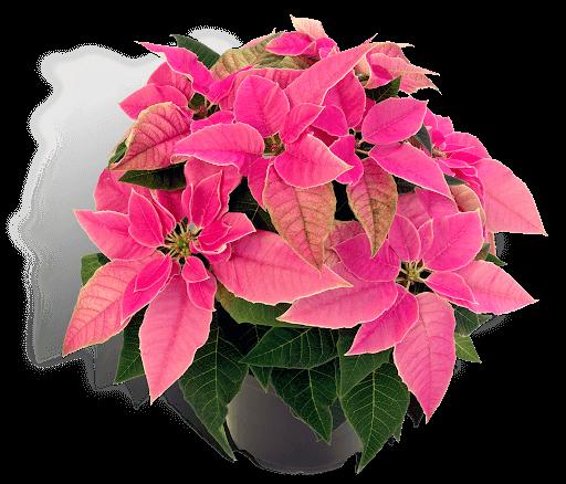 Noche buena planta venta Queretaro rosa