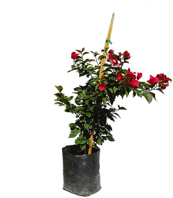 bugambilia arbusto