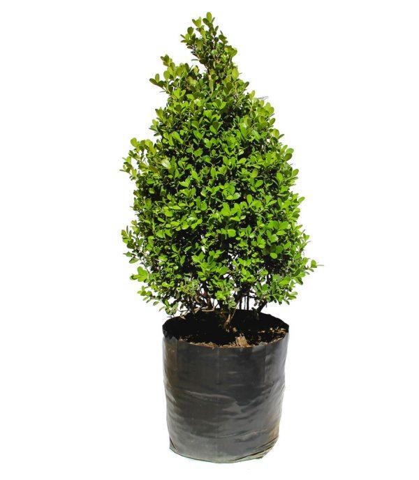 buxus pino